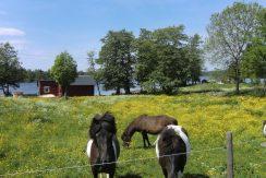 Die Islandpferde - täglicher Anblick vom Haus Urasjön